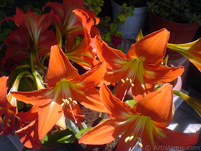 Red color amaryllis flower. <i>(Family: Amaryllidaceae / Liliaceae, Species: Hippeastrum)</i> <br>Photo Date: June 2009, Location: Turkey/Istanbul-Mother`s Flowers, By: Artislamic.com