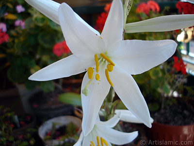 White color amaryllis flower. <i>(Family: Amaryllidaceae / Liliaceae, Species: Hippeastrum)</i> <br>Photo Date: June 2005, Location: Turkey/Istanbul-Mother`s Flowers, By: Artislamic.com