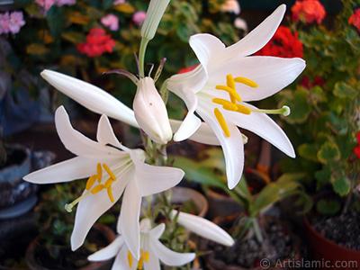 Beyaz zambak çiçeği resmi. <i>(Ailesi: Amaryllidaceae / Liliaceae, Türü: Hippeastrum)</i> <br>Çekim Tarihi: Haziran 2005, Yer: İstanbul-Annemin Çiçekleri, Fotoğraf: islamiSanat.net