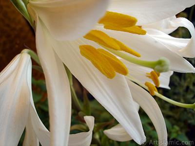 Beyaz zambak çiçeği resmi. <i>(Ailesi: Amaryllidaceae / Liliaceae, Türü: Hippeastrum)</i> <br>Çekim Tarihi: Mayıs 2008, Yer: İstanbul-Annemin Çiçekleri, Fotoğraf: islamiSanat.net