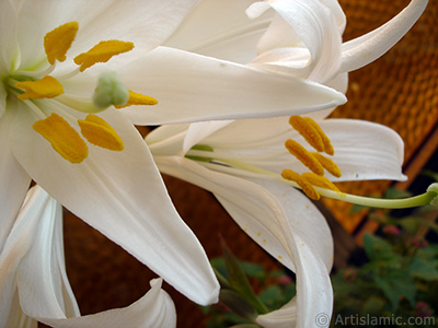 White color amaryllis flower. <i>(Family: Amaryllidaceae / Liliaceae, Species: Hippeastrum)</i> <br>Photo Date: May 2008, Location: Turkey/Istanbul-Mother`s Flowers, By: Artislamic.com