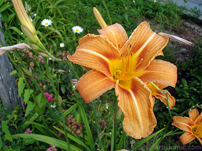 Orange color daylily -tiger lily- flower.