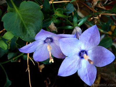 Balon -çan- çiçeği resmi. <i>(Ailesi: Campanulaceae, Türü: Platycodon grandiflorus)</i> <br>Çekim Tarihi: Temmuz 2006, Yer: İstanbul-Annemin Çiçekleri, Fotoğraf: islamiSanat.net