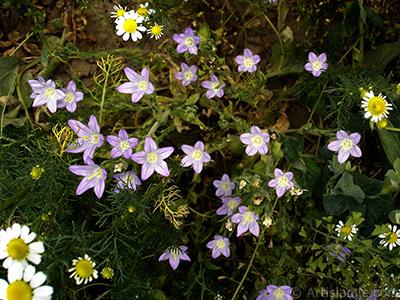 Balon -çan- çiçeği resmi. <i>(Ailesi: Campanulaceae, Türü: Platycodon grandiflorus)</i> <br>Çekim Tarihi: Mayıs 2007, Yer: Sakarya, Fotoğraf: islamiSanat.net