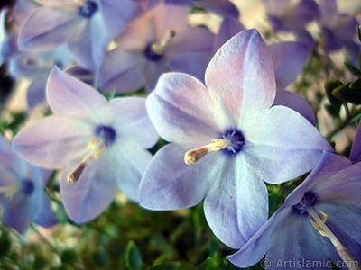 Balon -çan- çiçeği resmi. <i>(Ailesi: Campanulaceae, Türü: Platycodon grandiflorus)</i> <br>Çekim Tarihi: Haziran 2010, Yer: İstanbul-Annemin Çiçekleri, Fotoğraf: islamiSanat.net