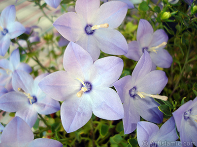 Balloon Flower -Chinese Bellflower-.