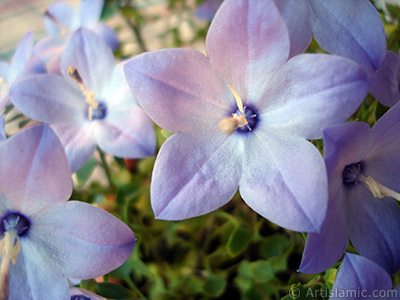 Balloon Flower -Chinese Bellflower-. <i>(Family: Campanulaceae, Species: Platycodon grandiflorus)</i> <br>Photo Date: June 2010, Location: Turkey/Istanbul-Mother`s Flowers, By: Artislamic.com