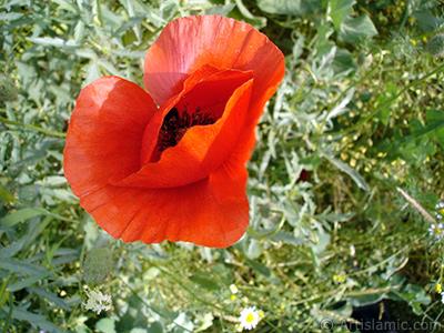 Red poppy flower. -Corn poppy, corn rose, field poppy, flanders poppy, red poppy, red weed- <i>(Family: Papaveraceae, Species: Papaver rhoeas)</i> <br>Photo Date: May 2007, Location: Turkey/Sakarya, By: Artislamic.com