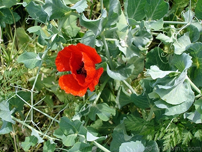 Red poppy flower.