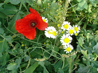 Red poppy flower. -Corn poppy, corn rose, field poppy, flanders poppy, red poppy, red weed- <i>(Family: Papaveraceae, Species: Papaver rhoeas)</i> <br>Photo Date: May 2007, Location: Turkey/Sakarya, By: Artislamic.com