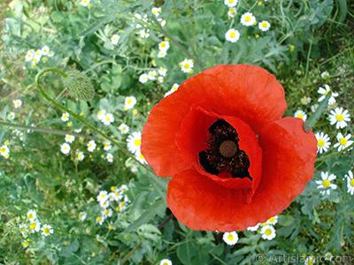Kırmızı gelincik çiçeği ve üzerinde minik bir böcek, arka planda papatyalar. <i>(Ailesi: Papaveraceae, Türü: Papaver rhoeas)</i> <br>Çekim Tarihi: Mayıs 2007, Yer: Sakarya, Fotoğraf: islamiSanat.net