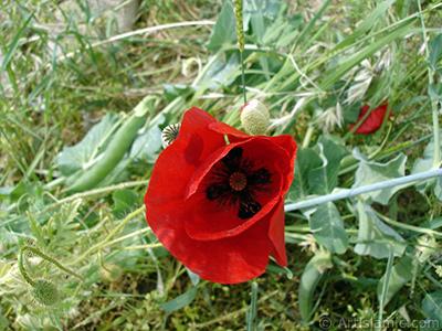 Kırmızı gelincik çiçeği resmi. <i>(Ailesi: Papaveraceae, Türü: Papaver rhoeas)</i> <br>Çekim Tarihi: Mayıs 2007, Yer: Sakarya, Fotoğraf: islamiSanat.net