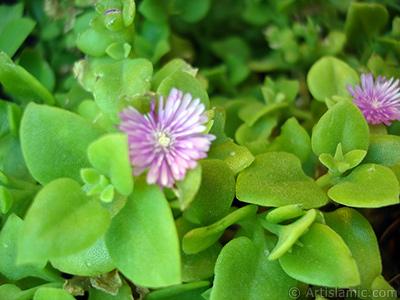 Pembe çiçeğe ve kalp şeklinde yapraklara sahip Buz Çiçeği (Öğle Çiçeği) resmi. <i>(Ailesi: Aizoaceae, Türü: Aptenia cordifolia)</i> <br>Çekim Tarihi: Mayıs 2005, Yer: İstanbul-Annemin Çiçekleri, Fotoğraf: islamiSanat.net