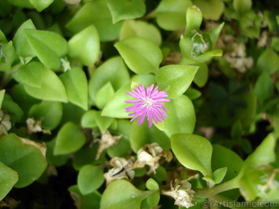 Heartleaf Iceplant -Baby Sun Rose, Rock rose- with pink flowers. <i>(Family: Aizoaceae, Species: Aptenia cordifolia)</i> <br>Photo Date: September 2005, Location: Turkey/Istanbul-Mother`s Flowers, By: Artislamic.com