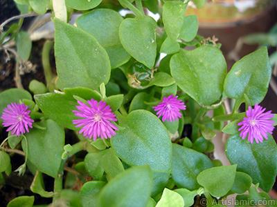 Pembe çiçeğe ve kalp şeklinde yapraklara sahip Buz Çiçeği (Öğle Çiçeği) resmi. <i>(Ailesi: Aizoaceae, Türü: Aptenia cordifolia)</i> <br>Çekim Tarihi: Temmuz 2006, Yer: İstanbul-Annemin Çiçekleri, Fotoğraf: islamiSanat.net