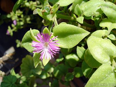 Pembe çiçeğe ve kalp şeklinde yapraklara sahip Buz Çiçeği (Öğle Çiçeği) resmi. <i>(Ailesi: Aizoaceae, Türü: Aptenia cordifolia)</i> <br>Çekim Tarihi: Eylül 2006, Yer: İstanbul-Annemin Çiçekleri, Fotoğraf: islamiSanat.net