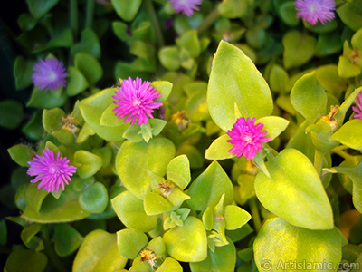 Heartleaf Iceplant -Baby Sun Rose, Rock rose- with pink flowers.