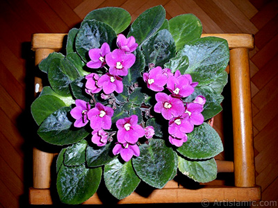 Pink color African violet. <i>(Family: Gesneriaceae, Species: Saintpaulia ionantha)</i> <br>Photo Date: January 2002, Location: Turkey/Istanbul-Mother`s Flowers, By: Artislamic.com