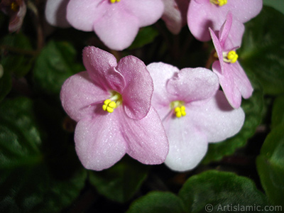 Pink color African violet. <i>(Family: Gesneriaceae, Species: Saintpaulia ionantha)</i> <br>Photo Date: January 2011, Location: Turkey/Istanbul-Mother`s Flowers, By: Artislamic.com