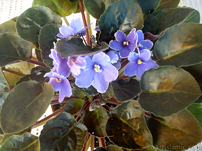 Purple color African violet. <i>(Family: Gesneriaceae, Species: Saintpaulia ionantha)</i> <br>Photo Date: January 2002, Location: Turkey/Istanbul-Mother`s Flowers, By: Artislamic.com