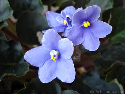 Purple color African violet. <i>(Family: Gesneriaceae, Species: Saintpaulia ionantha)</i> <br>Photo Date: November 2005, Location: Turkey/Istanbul-Mother`s Flowers, By: Artislamic.com