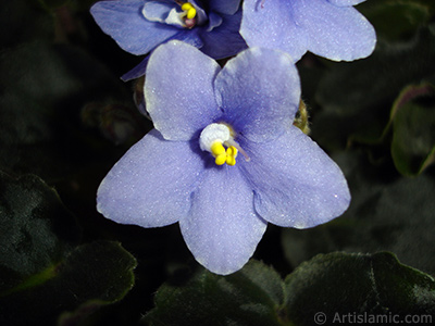 Purple color African violet.