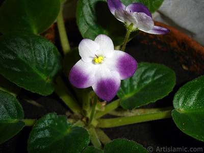 Purple and white color African violet.
