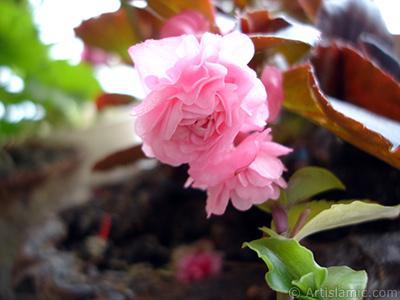 Pembe çiçekli, kahverengi yapraklı yalınkat açan Begonya Çiçeği resmi. <i>(Ailesi: Begoniaceae, Türü: Begonia Semperflorens)</i> <br>Çekim Tarihi: Haziran 2005, Yer: İstanbul-Annemin Çiçekleri, Fotoğraf: islamiSanat.net