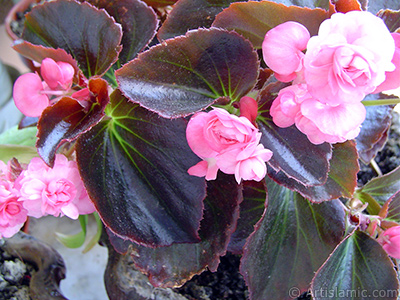 Wax Begonia -Bedding Begonia- with pink flowers and brown leaves. <i>(Family: Begoniaceae, Species: Begonia Semperflorens)</i> <br>Photo Date: June 2005, Location: Turkey/Istanbul-Mother`s Flowers, By: Artislamic.com