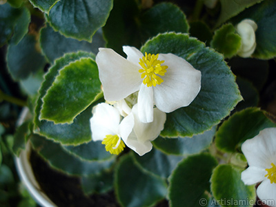 Wax Begonia -Bedding Begonia- with white flowers and green leaves. <i>(Family: Begoniaceae, Species: Begonia Semperflorens)</i> <br>Photo Date: August 2005, Location: Turkey/Istanbul-Mother`s Flowers, By: Artislamic.com