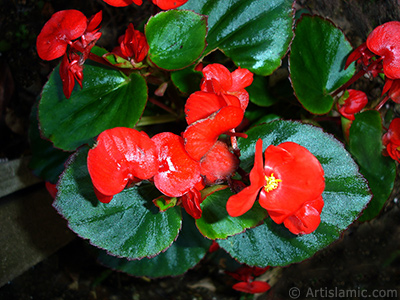 Wax Begonia -Bedding Begonia- with red flowers and green leaves. <i>(Family: Begoniaceae, Species: Begonia Semperflorens)</i> <br>Photo Date: July 2005, Location: Turkey/Trabzon, By: Artislamic.com