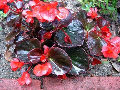 Wax Begonia -Bedding Begonia- with red flowers and brown leaves.