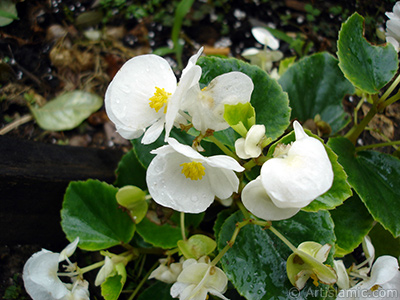 Wax Begonia -Bedding Begonia- with white flowers and green leaves. <i>(Family: Begoniaceae, Species: Begonia Semperflorens)</i> <br>Photo Date: July 2005, Location: Turkey/Trabzon, By: Artislamic.com