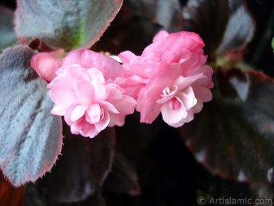 Wax Begonia -Bedding Begonia- with pink flowers and brown leaves. <i>(Family: Begoniaceae, Species: Begonia Semperflorens)</i> <br>Photo Date: May 2006, Location: Turkey/Istanbul-Mother`s Flowers, By: Artislamic.com