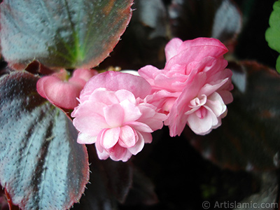 Wax Begonia -Bedding Begonia- with pink flowers and brown leaves.