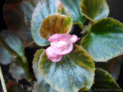Wax Begonia -Bedding Begonia- with pink flowers and green leaves.