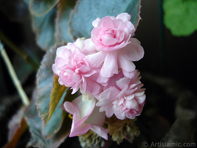 Wax Begonia -Bedding Begonia- with pink flowers and green leaves. <i>(Family: Begoniaceae, Species: Begonia Semperflorens)</i> <br>Photo Date: August 2006, Location: Turkey/Istanbul-Mother`s Flowers, By: Artislamic.com