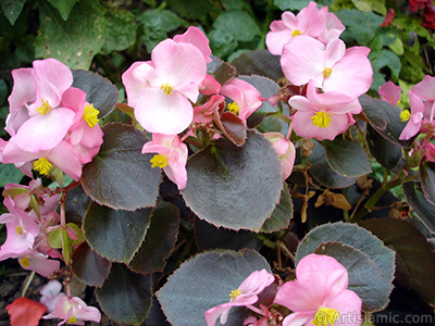 Wax Begonia -Bedding Begonia- with pink flowers and brown leaves. <i>(Family: Begoniaceae, Species: Begonia Semperflorens)</i> <br>Photo Date: August 2008, Location: Turkey/Yalova-Termal, By: Artislamic.com