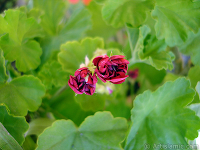 Red color Pelargonia -Geranium- flower. <i>(Family: Geraniaceae, Species: Pelargonium)</i> <br>Photo Date: May 2006, Location: Turkey/Istanbul-Mother`s Flowers, By: Artislamic.com