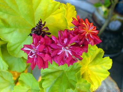 Red color Pelargonia -Geranium- flower. <i>(Family: Geraniaceae, Species: Pelargonium)</i> <br>Photo Date: September 2007, Location: Turkey/Istanbul-Mother`s Flowers, By: Artislamic.com