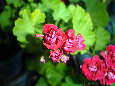 Red color Pelargonia -Geranium- flower.