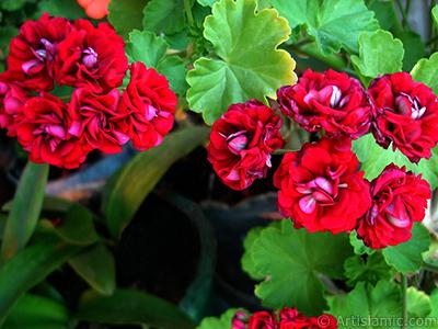 Kırmızı Katmerli Sardunya Çiçeği resmi. <i>(Ailesi: Geraniaceae, Türü: Pelargonium)</i> <br>Çekim Tarihi: Haziran 2006, Yer: İstanbul-Annemin Çiçekleri, Fotoğraf: islamiSanat.net