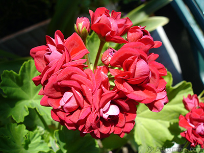 Red color Pelargonia -Geranium- flower. <i>(Family: Geraniaceae, Species: Pelargonium)</i> <br>Photo Date: June 2006, Location: Turkey/Istanbul-Mother`s Flowers, By: Artislamic.com