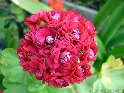 Kırmızı Katmerli Sardunya Çiçeği resmi. <i>(Ailesi: Geraniaceae, Türü: Pelargonium)</i> <br>Çekim Tarihi: Temmuz 2006, Yer: İstanbul-Annemin Çiçekleri, Fotoğraf: islamiSanat.net