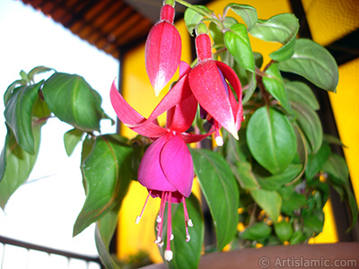 Red and purple color Fuchsia Hybrid flower. <i>(Family: Onagraceae, Species: Fuchsia x hybrida)</i> <br>Photo Date: October 2007, Location: Turkey/Istanbul-Mother`s Flowers, By: Artislamic.com