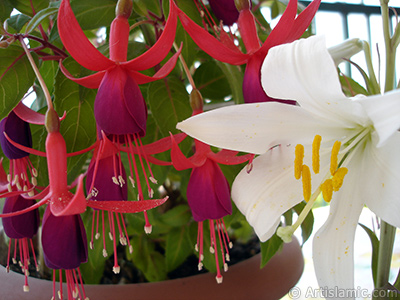 Red and purple color Fuchsia Hybrid flower.