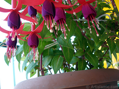 Red and purple color Fuchsia Hybrid flower. <i>(Family: Onagraceae, Species: Fuchsia x hybrida)</i> <br>Photo Date: May 2008, Location: Turkey/Istanbul-Mother`s Flowers, By: Artislamic.com