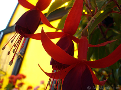 Kırmızı ve mor renkli Küpe Çiçeği resmi. <i>(Ailesi: Onagraceae, Türü: Fuchsia x hybrida)</i> <br>Çekim Tarihi: Mayıs 2009, Yer: İstanbul-Annemin Çiçekleri, Fotoğraf: islamiSanat.net