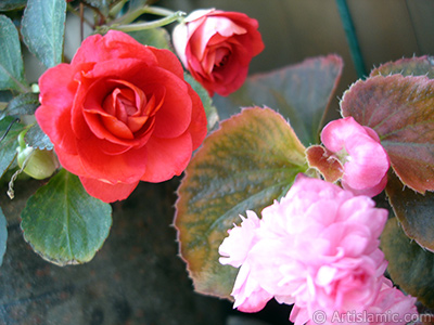 Red color Begonia Elatior flower. <i>(Family: Begoniaceae, Species: Begonia)</i> <br>Photo Date: June 2006, Location: Turkey/Istanbul-Mother`s Flowers, By: Artislamic.com
