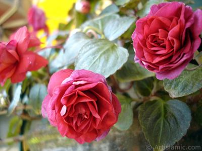 Kırmızı Katmerli Begonya Çiçeği resmi. <i>(Ailesi: Begoniaceae, Türü: Begonia)</i> <br>Çekim Tarihi: Haziran 2006, Yer: İstanbul-Annemin Çiçekleri, Fotoğraf: islamiSanat.net